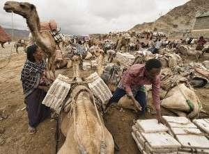 Afar people loading salt on the camel caravans in the Danakil Depression, Ethiopia