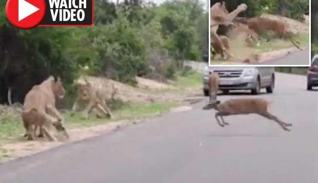 lion-deer-animal-news-664871