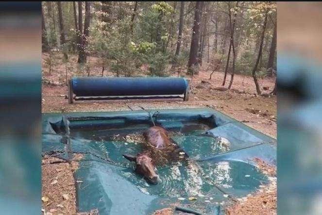Shpëtohet kali nga pishina pas zjarrit në Kaliforni